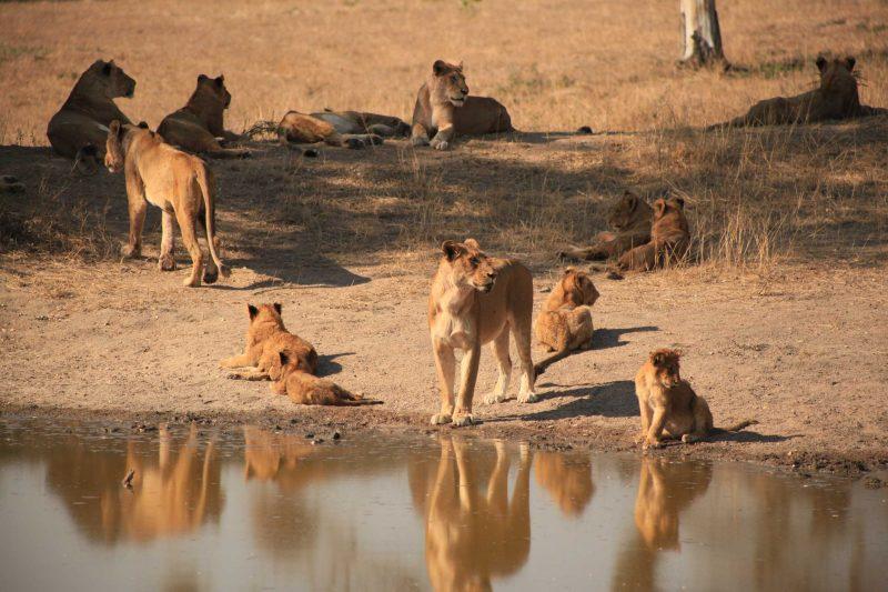 Cena incrível! Os 15 leões. Só pudemos chegar tão perto porque era uma reserva privada de safari no Kruger