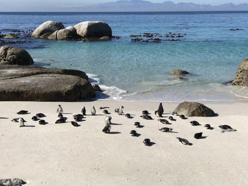 boulders beach: onde ver pinguins em cape town