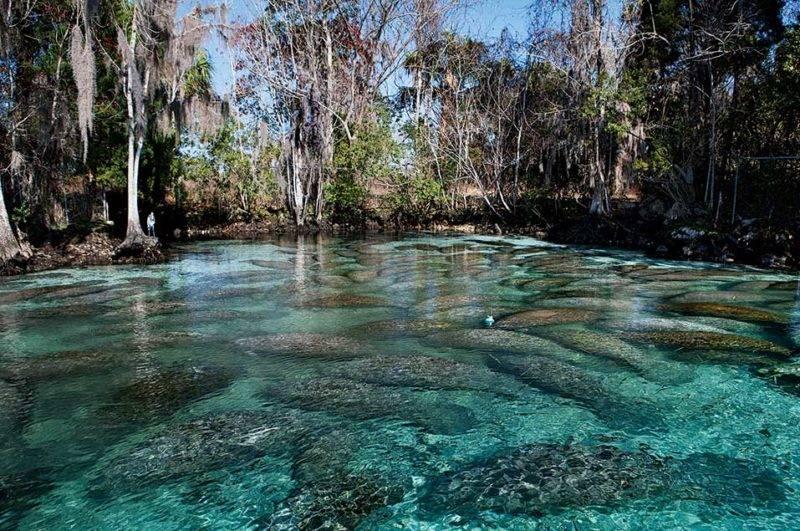 Roteiro Floria: os peixes-boi em Three Sisters Springs, Crystal River