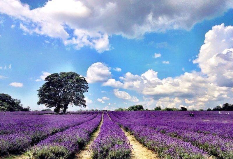 Verão em Londres: campos de lavanda do Mayfield Lavender Farm.