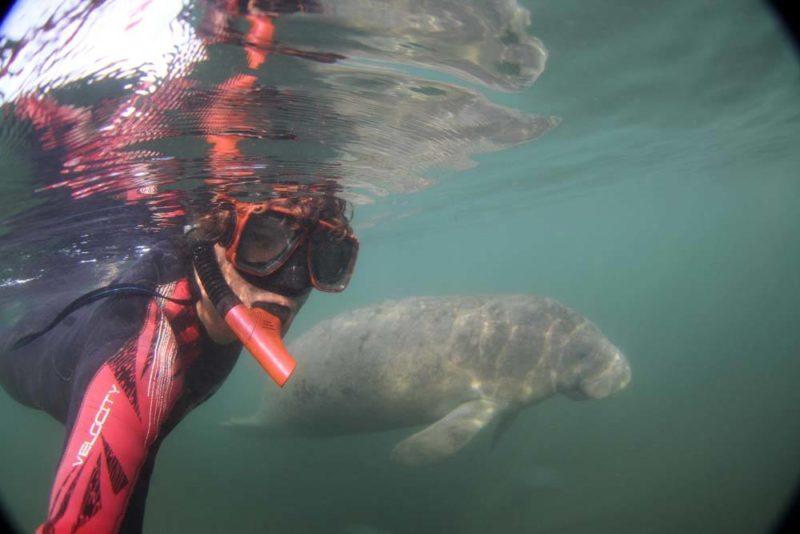 O que fazer na Flórida: mergulhas com os incríveis manatees.